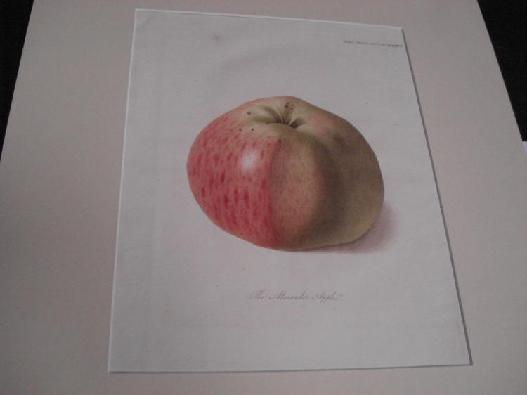 Original Botanical etching (one)