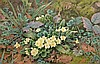 COLIN NEWMAN FSBA,  Primroses in Moss, W.C, signed and dated '90, 14in, Colin Newman, Click for value