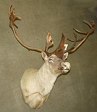 Large trophy Quebec/Labrador caribou trophy mount