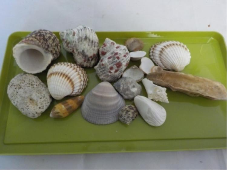Small Collection of Sea Shells From Around World