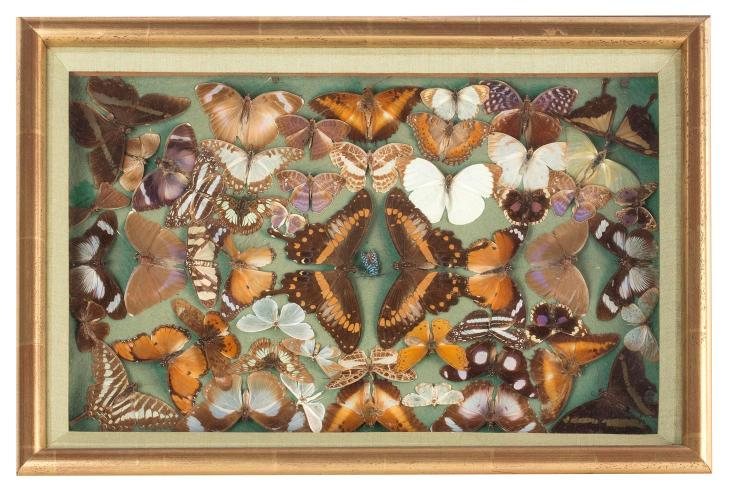 A cased set of butterflies, English, 19th century