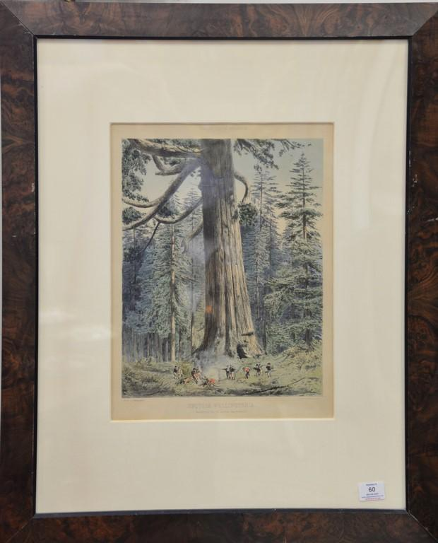 After F. Schenck, colored lithograph, Sequoia Wellingtonioa Mariposa Grove South California, sight size 17 1/2