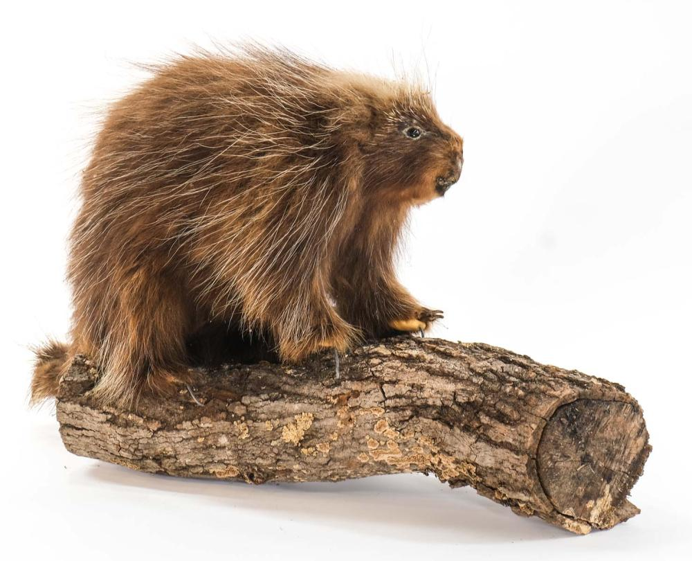 Taxidermy Porcupine Mount