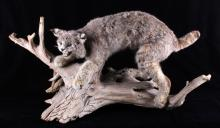 Montana Bobcat Trophy Full Mount on Wood Stand