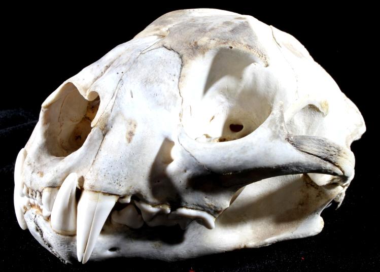 Montana Mountain Lion Skull