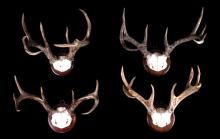 Blacktail Deer Trophy Mount Collection