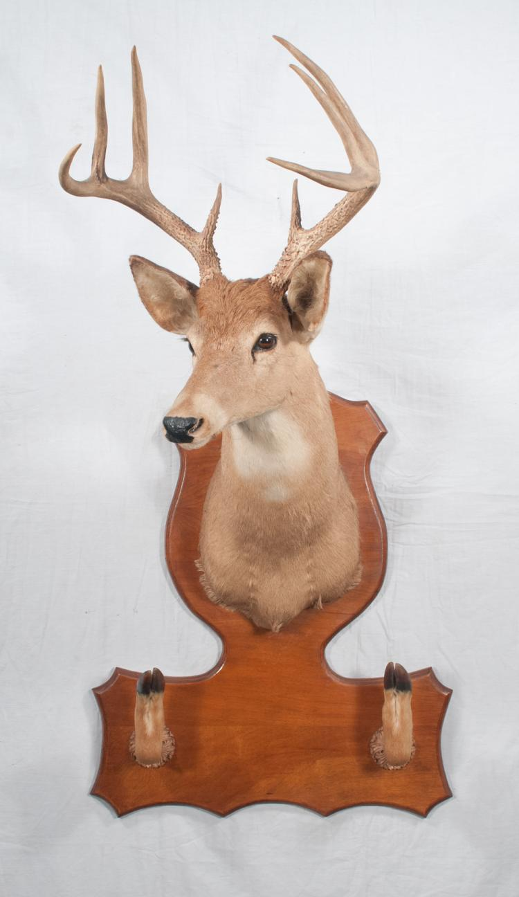 Eight point white tail deer head mounted on wooden panel with gun rack at the base, overall 50