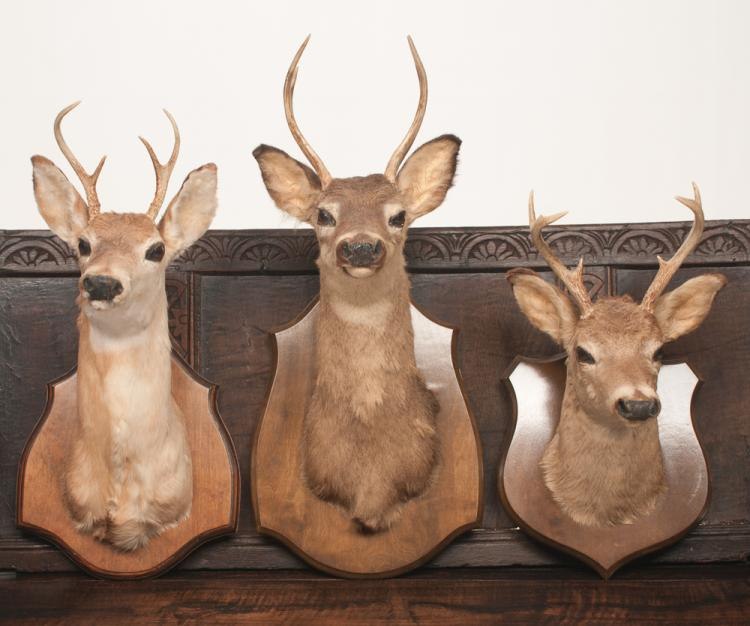 Group of three mounted deer heads with antlers, one six pointer and two four pointers