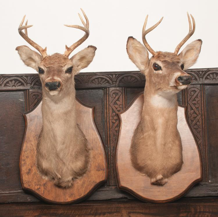 Two mounted deer heads, a six pointer and a four pointer, mounted on shaped wooden boards
