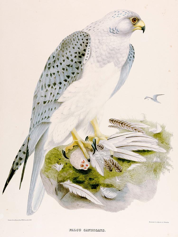 Falken - - Wolf, Joseph. Falco Candicans. Farblithographie von J. Bowen, Ph