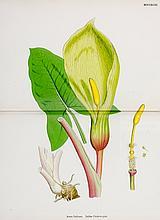 Biologie - Botanik - - Sowerby, John Edward. English Botany; or, Coloured F