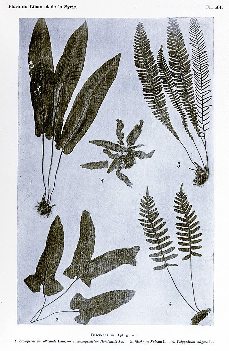 Biologie - Botanik - - Bouloumoy, Louis. Flore du Liban et de la Syrie. Tex