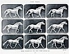 Photobücher - - Muybridge, Eadweard. Animals in Motion. An electro-photogra, Eadweard Muybridge, €160