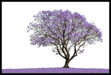 Photograph-Hand Signed-Jacaranda Tree