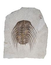 Selenopeltis sp. Ordovician