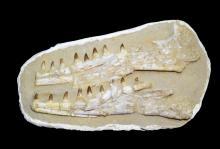 Prognathodon sp.(Mosasaur) Jaw Sections