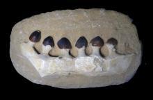 Igdamanosaurus (Globidens) Mosasaur- Jaw Section