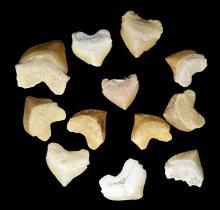 Fossil Crow Shark Teeth-Squalicorax pristodontus