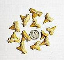12 Fossil Shark Teeth (Cretolamna biauriculata maroccana)