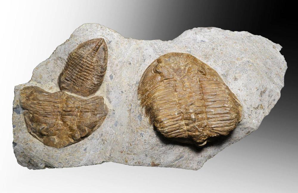 Eudolatites sp.- Mortality Plate