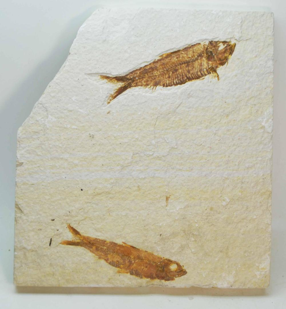 Knightia eocanea- Eocene Epoch-50myo