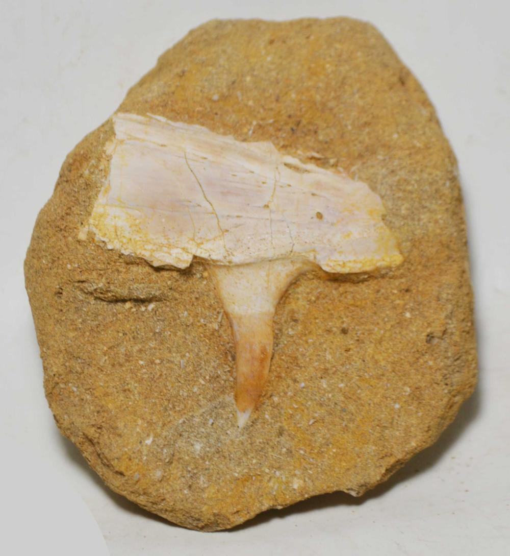 Saber Toothed Herring Jaw Section