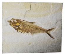 Knightia eocanea- Eocene Period,50myo.