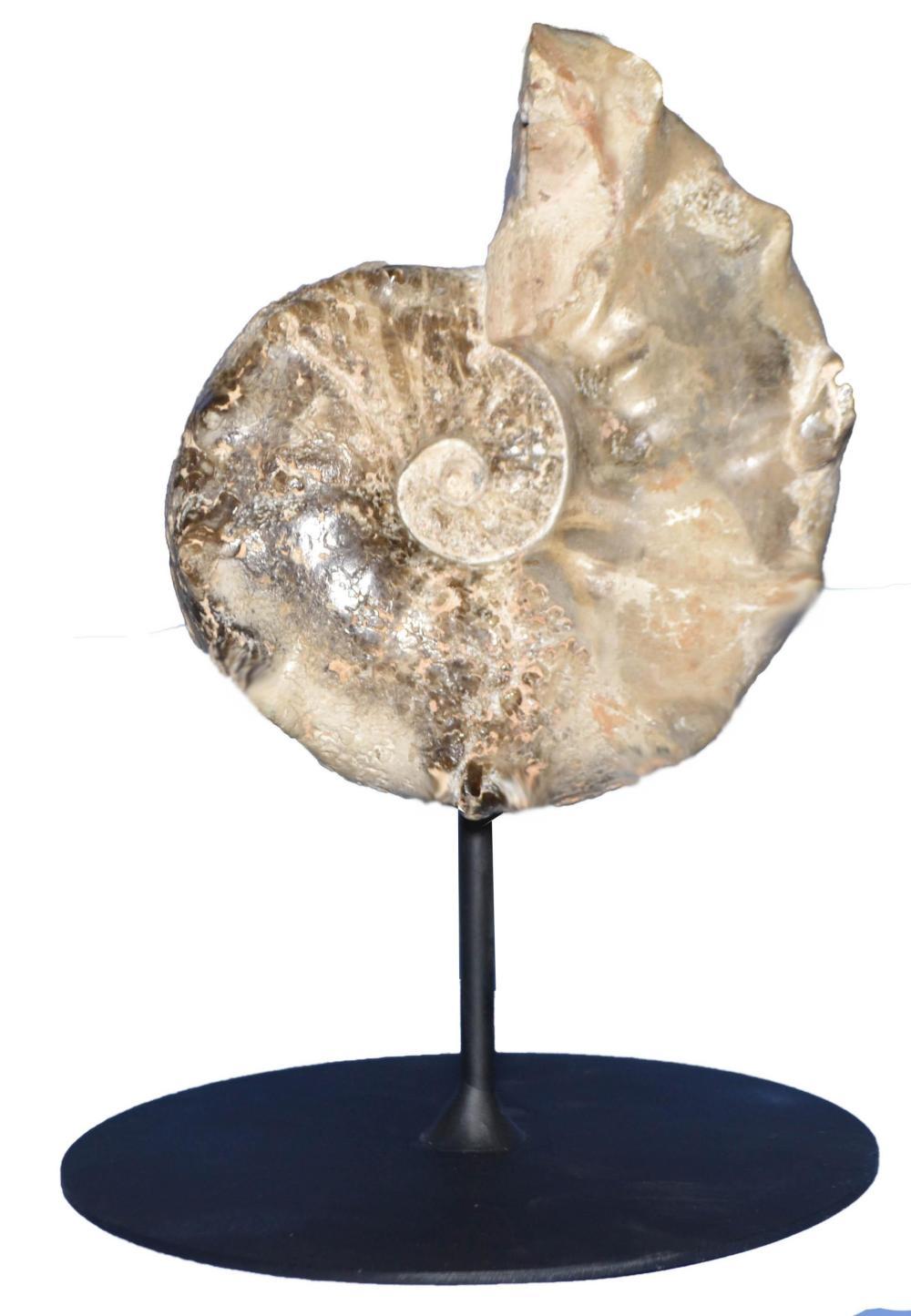 Uncommon Large Horned Mamites Ammonite-Mounted