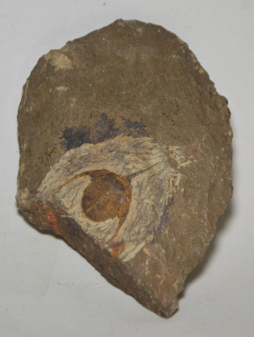 Ampyx Priscus