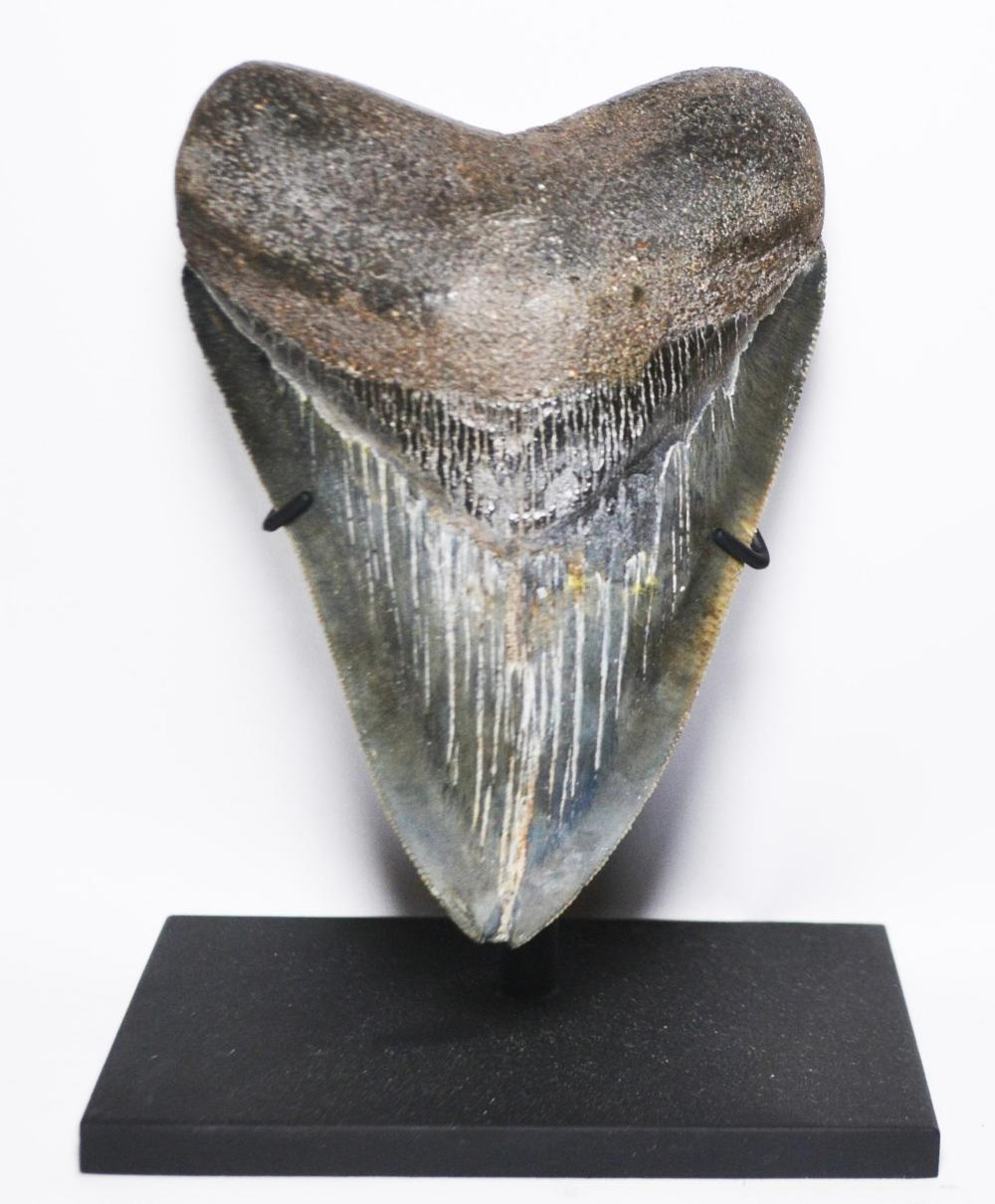 Serrated Megaladon Tooth