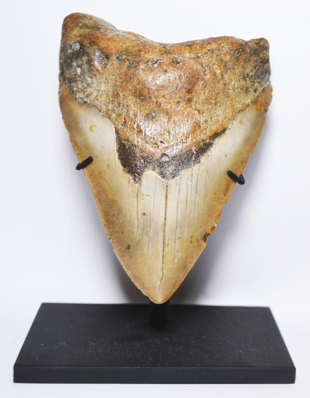 Megaladon Tooth