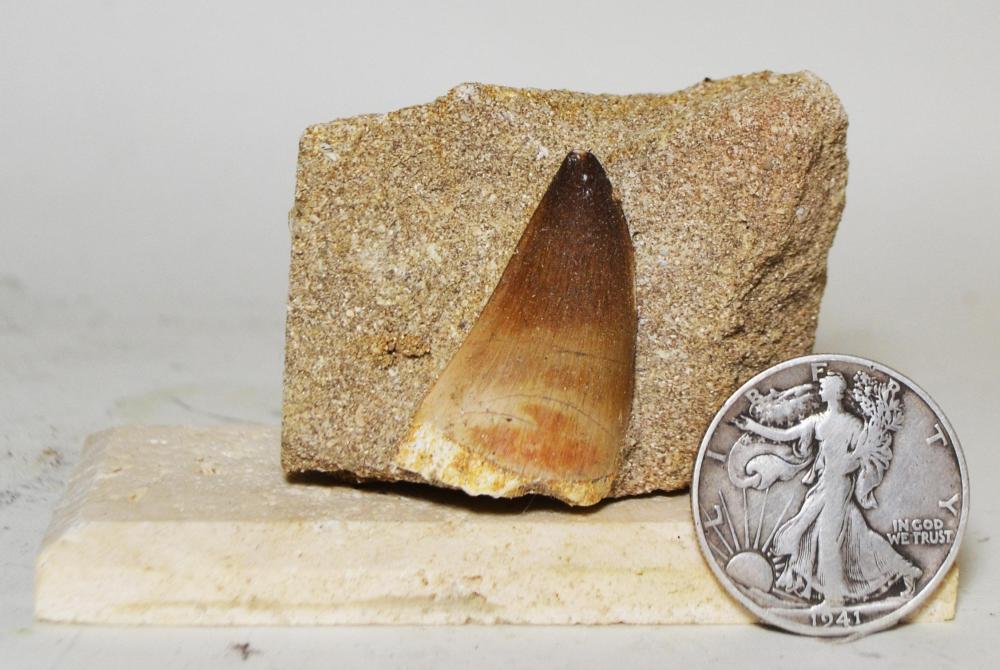 Mosasaur Tooth in Matrix-Mounted