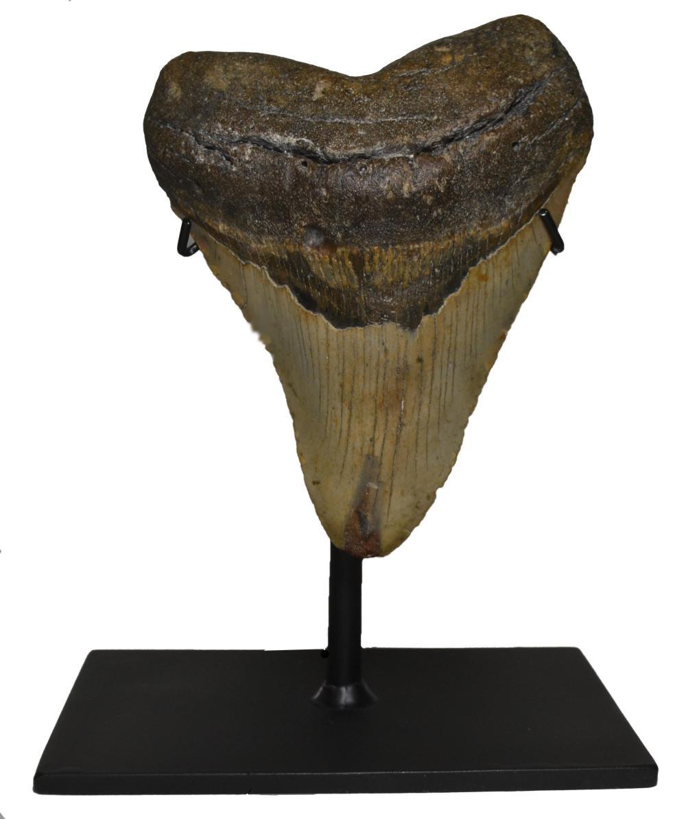 Custom Megaladon Tooth Display Stand