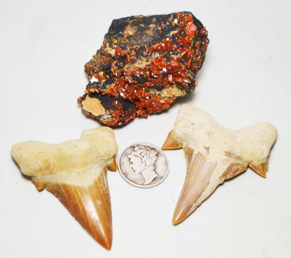 """2-Large Grade """"A"""" Fossil Otodus obliqus Teeth + Vanadinite"""