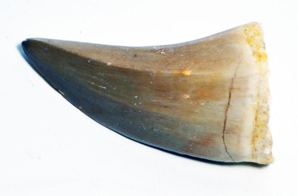 Grade-A Large Authentic Mosasaurs Tooth