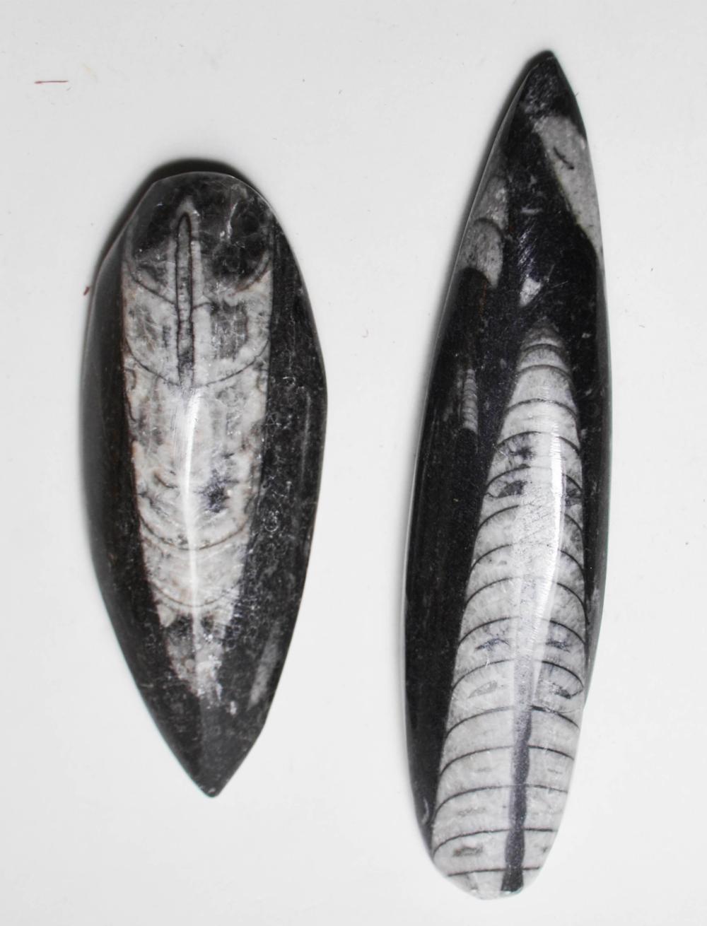 Large Orthoceras