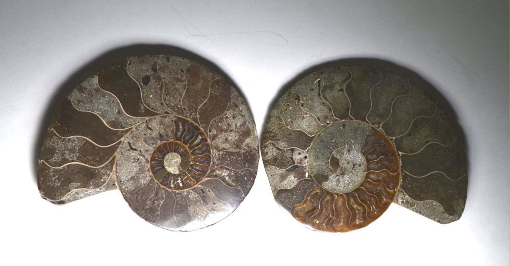 Polished, Agatized Ammonite (Cleoniceras)