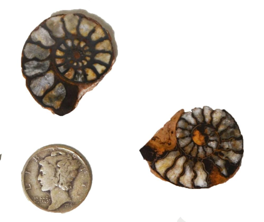 Fossil Ammonite-Polished On One Side