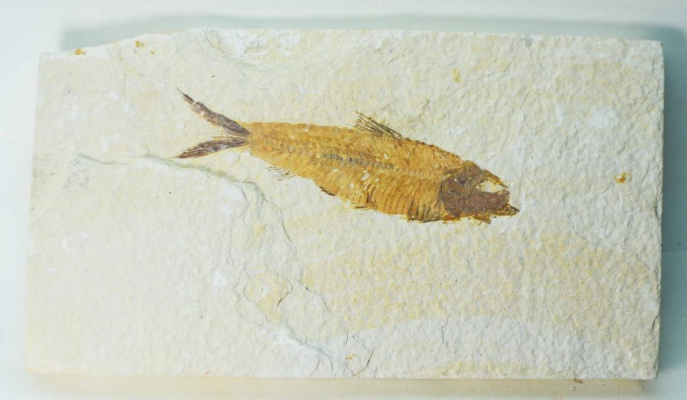 Diplomystus dentatus- Eocene Epoch-50myo