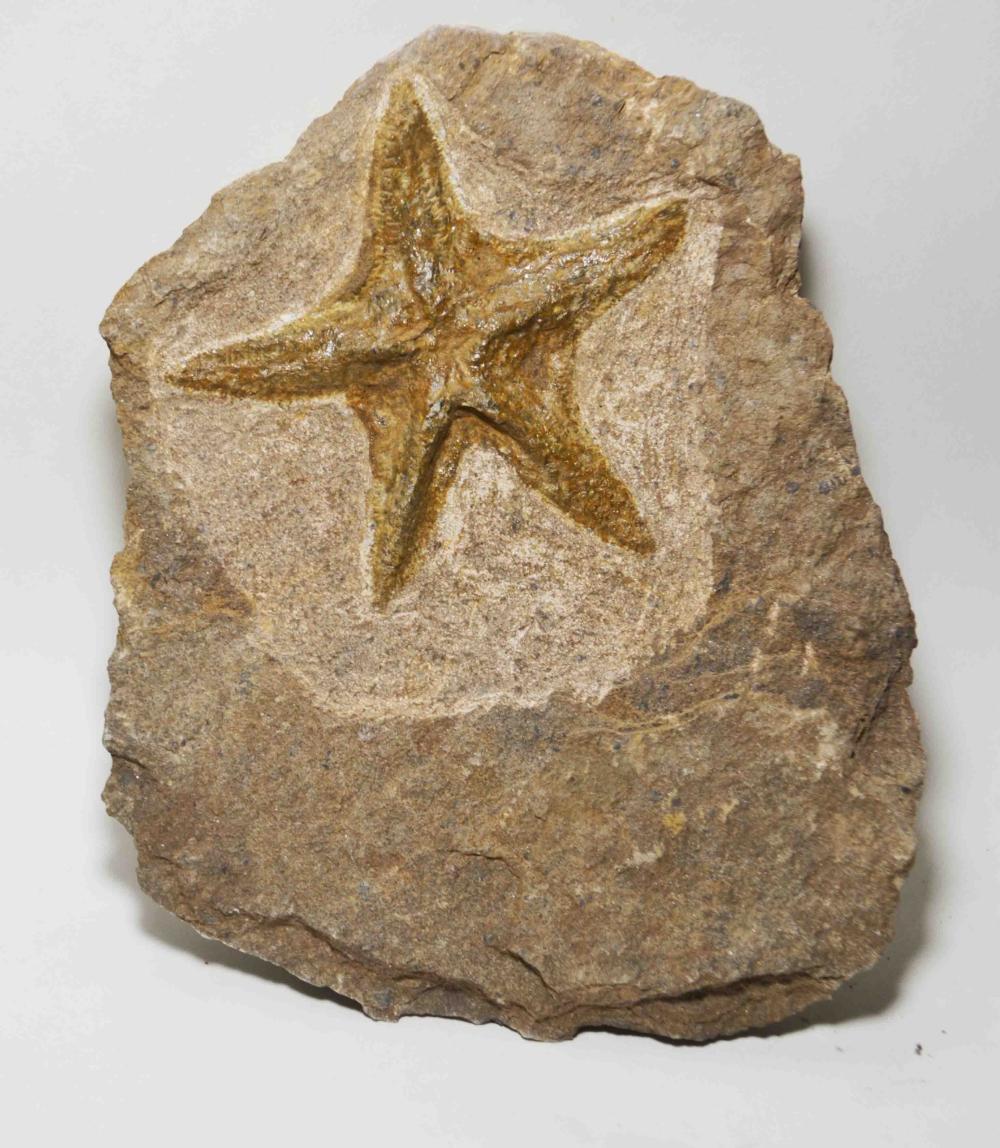 450myo. Brittlestar {Petraster} Fossil