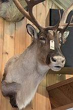 TAXIDERMY: CANADIAN MOUNTAIN CARIBOU - Shoulder mount
