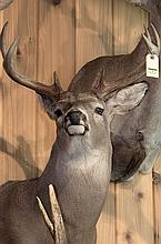 TAXIDERMY: WHITETAIL DEER - Shoulder mount
