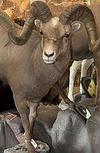 TAXIDERMY: KAMCHATKA BIGHORN - Full mount on environmental stand