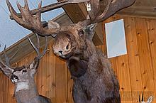 TAXIDERMY: ALASKA YUKON MOOSE - Shoulder mount
