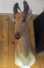 TAXIDERMY: LELWEL HARTEBEEST - Shoulder mount