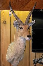 TAXIDERMY: COMMON REEDBUCK - Shoulder mount