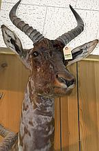TAXIDERMY: TSESSEBE - Shoulder mount