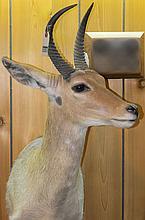 TAXIDERMY: EASTERN BOHOR REEDBUCK - Shoulder mount