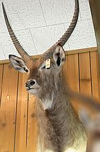 TAXIDERMY: COMMON WATERBUCK- Shoulder mount