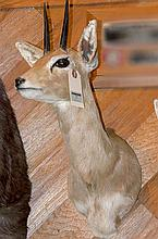 TAXIDERMY: STEENBOK - Shoulder mount